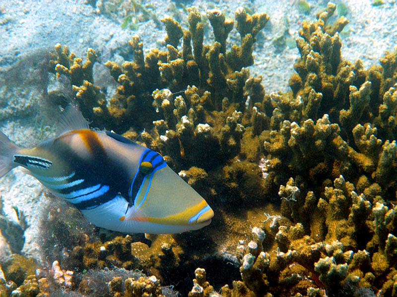 Triggerfish on Naitauba reef