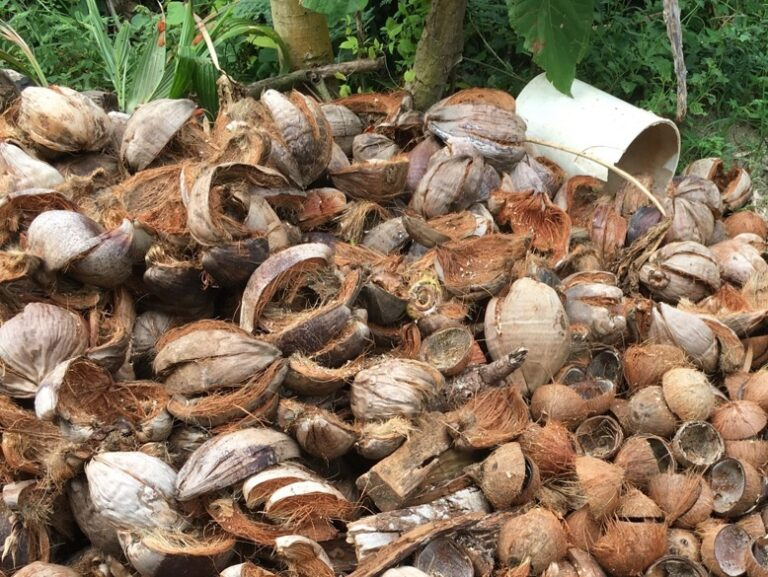 Coconut husks and shells to be used in the biochar fire.