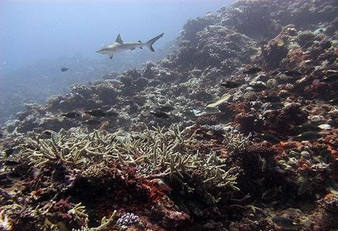 A shark swimming by healthy corals of the outer reef slopes which display no signs of bleaching yet.
