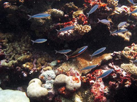 Small fish near healthy corals of the outer reef.