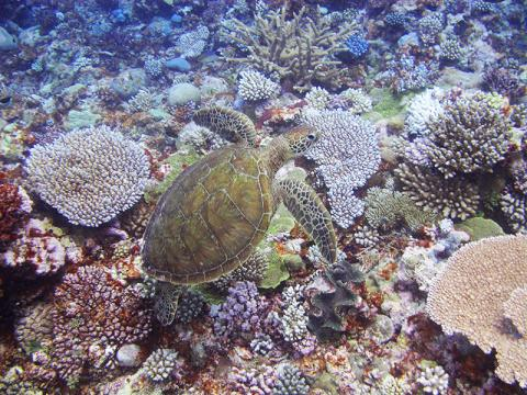 A green turtle swimming over healthy corals of the outer reef.